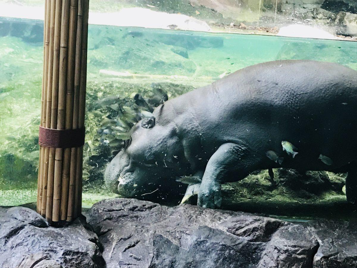 シンガポール動物園に行ってみた感想!見どころ&おすすめのまわり方を紹介!