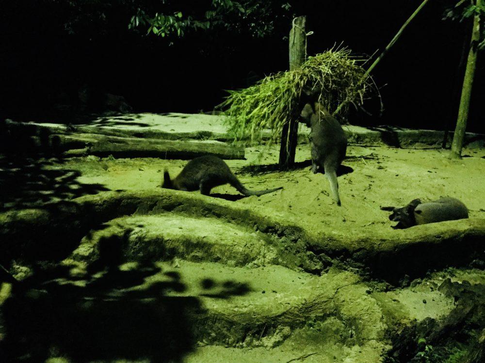 シンガポール動物園のナイトサファリトラム&トレイルで夜行性の動物を観察しよう!